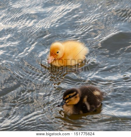 Two baby ducks duckling swimming in the water square