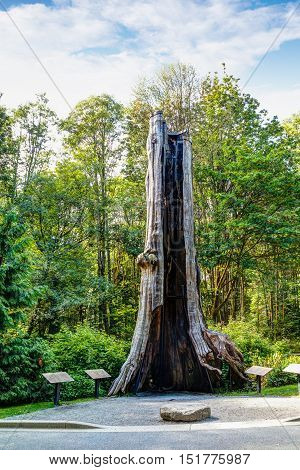 The 800-year-old Hollow Tree a Western Red Cedar tree stump is one of the most famous landmarks at Stanley Park in Vancouver. The tree was restored in 2011 after being damaged by a severe winterstorm in 2006.