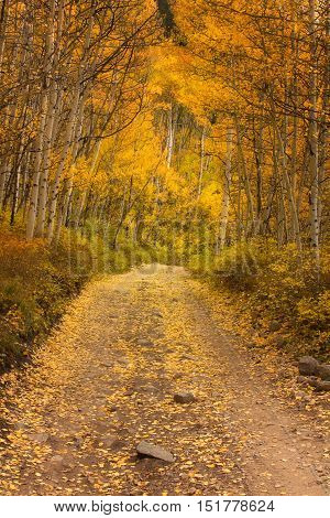 A yellow and gold dirt road lined with Autmn aspen trees