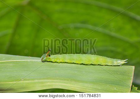 Great Evening Brown Caterpillar