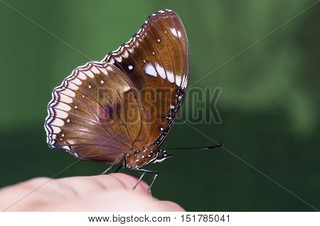Close up of male Great Eggfly (Hypolimnas bolina) butterfly perching on human hand