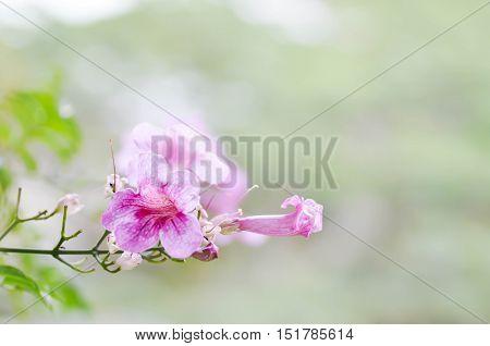 Zimbabwe creeper Pink Trumpet Vine or Trumpet Vine(Podranea ricasoliana flower)