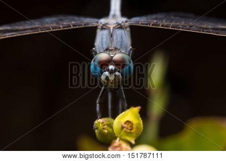Head on macro shot of a blue dragonfly resting on flower bulb