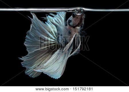 Betta fish in freedom action. Siamese fighting fish species, half moon