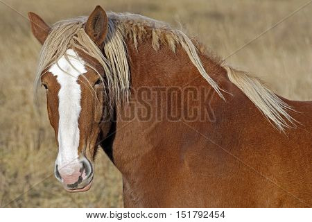 Draft Horse standing at pasture portrait close up