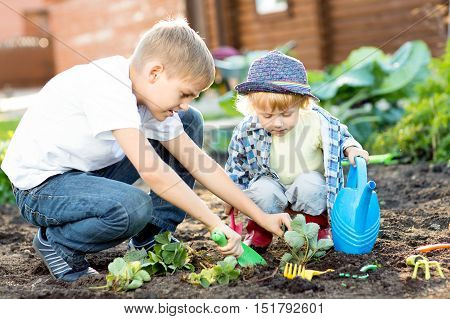Kids planting strawberry seedling in to fertile soil outside in garden