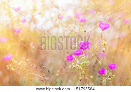 Beautiful pink poppies in a field with sunlight streaming in from the side