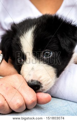 Border Collie puppy on lap close up