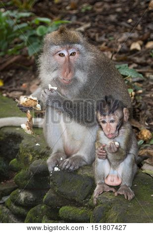 A Balinese Long-Tailed Monkey eating with her baby in the Ubud Monkey forest in Bali, Indonesia.
