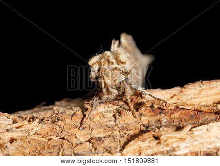 Moth En Face