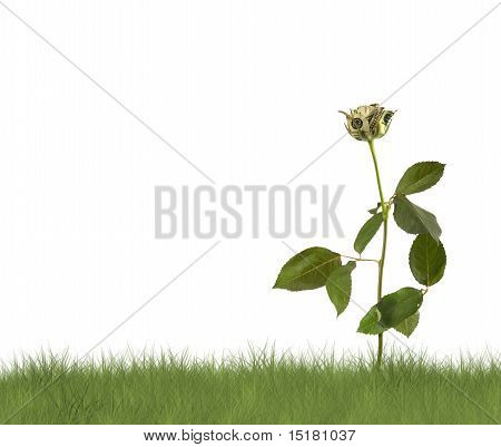 Growing Rose On The White Background. Conceptual Image.
