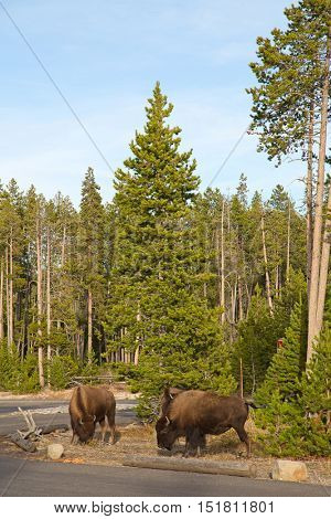 Bison in the Yellowstone national park, Wyoming, USA