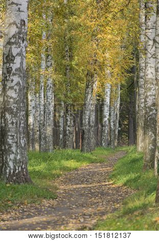 Footpath dirt track in the Park in the woods with fallen leaves among between autumn trees birch trees with yellow leaves green grass