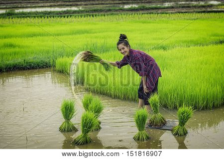 women farmers in rice fields ,young farmer.