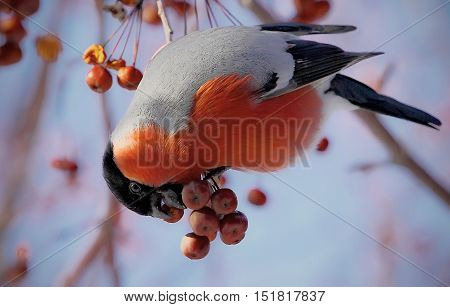 Bullfinch Sitting On A Branch Of A Mountain Ash