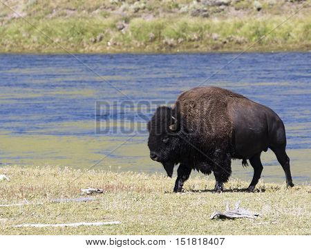 Bull bison wet after leaving the yellowstone river from a short swim