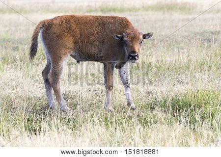 Young bison calf standing in open grass field