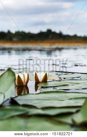 Beautiful Pond with White Water Lilies, Summer