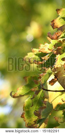 Sunlit Leaves