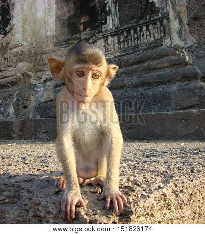 A young monkey on the stairs of the abandoned  temple in LopBuri - Thailand.