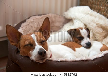 Two Jack Russell Terriers Sleeping