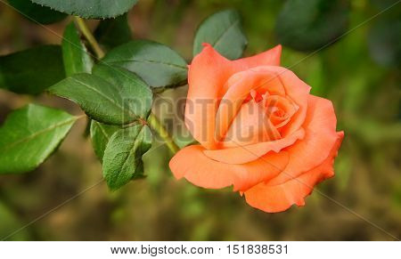 Beautiful pink flower tea-hybrid rose blooming in the garden . Photographed closeup on a background of green leaves.