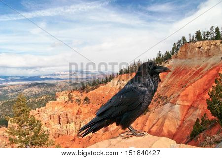 Raven at Bryce Canyon National Park, Utah, USA.
