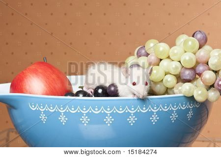 Rat In Fruit Bowl