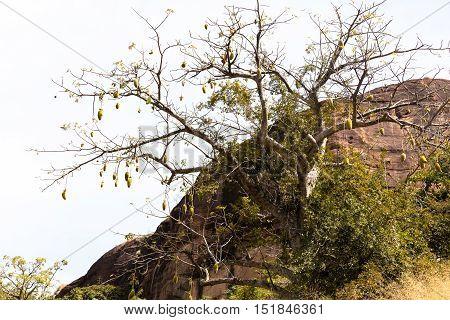 Breadfruit In Africa