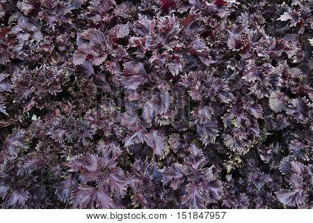 Purple Japanese perilla full frame