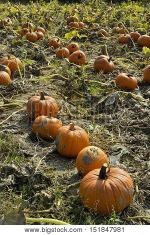 Field with orange pumpkins