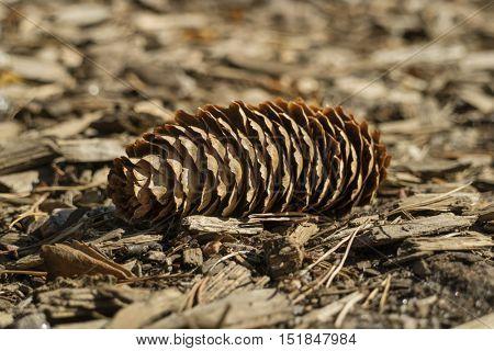 Fallen single conifer cone in the wood