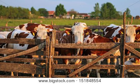 Cows in Pasture at Sunset. Herd of cows on the pasture. Cows grazing outdoors. Healthy domestic animals on summer pasture.