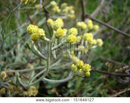 Helichrysum is a medicinal plant used in folk medicine as a cure