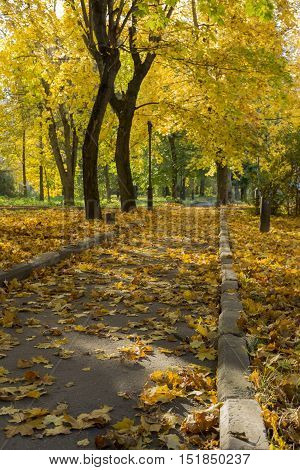 track among the trees with yellow leaves in autumn Park covered with fallen yellow maple leaves Russia