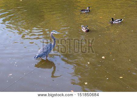 Great Blue Heron in breeding plumage stands.