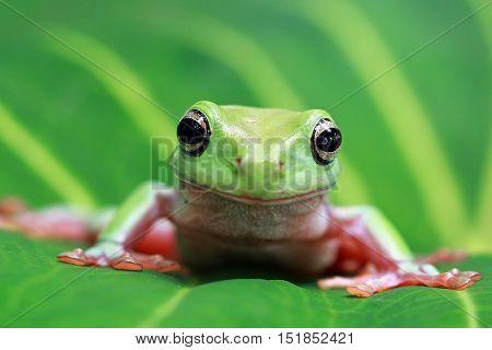Dumpy frog, tree frog sitting on leaf