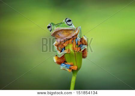 Tree frog, Javan gliding tree frog sitting on branch