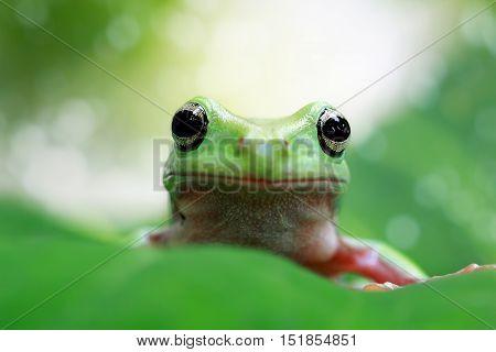 Dumpy frog, tree frog watching prey on the leaves