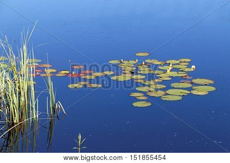 Group of water lily on calm water and reed straw and the blue sky reflecting in the surface