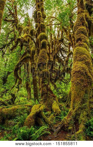 Trees covered with moss in the temperate Hoh Rain Forest.Olympic National Park Washington State USA