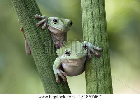 Dumpy frog, two dumpy frogs cool to play on the stalk