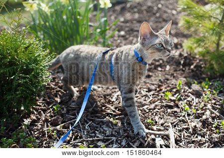 Devon Rex cat is walking in the garden on a leash. Cat is walking outdoor. Adventure cat. Cat enjoying being in fresh air. The pleasure of fresh air and sunshine. Safety Tips. Train your cat walking