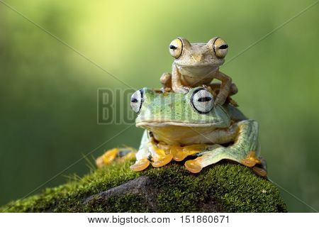 Tree frog, a frog children playing on the head of the mother