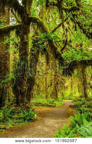 hiking trail with trees covered with moss in the temperate Hoh Rain Forest.Olympic National Park Washington State USA
