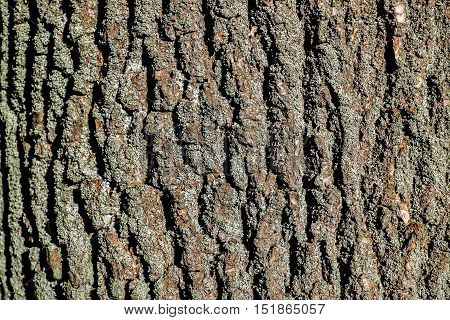 Pine bark of the tree in the sun