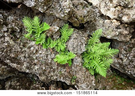 fern seedlings between the ancient cold lava rocks encrusted with lichens in Etna National Park, Sicily