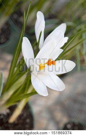 Detail of white crocus (Crocus heuffelianus) blooming