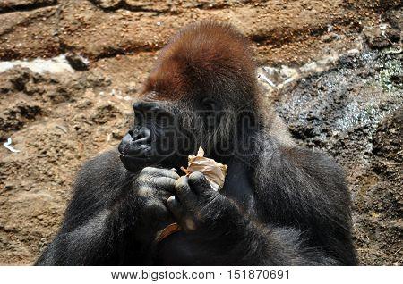 Closeup Of Gorilla
