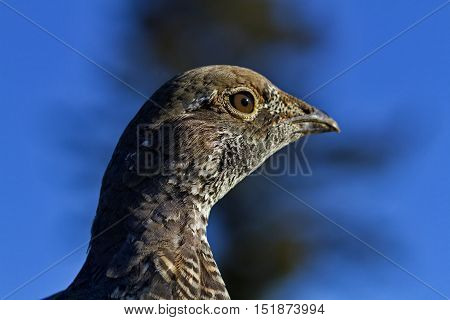 Blue grouse close up taken at National Bison Range in Montana USA. Horizontal image with copy space on blue. Season is autumn September 16 2016.